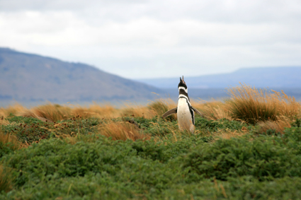 Punta Arenas – Chili – Pinguïns ontmoeten